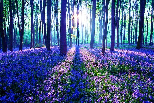 Bluebell Forest, United Kingdom
