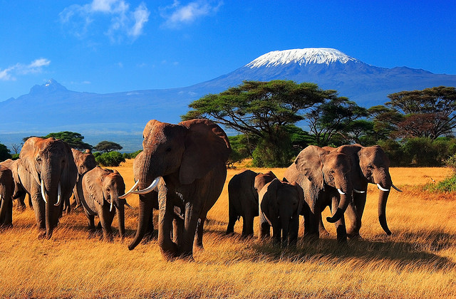 by  HD  on Flickr.The Giants of Africa in Amboseli, Kenya with snowy Kilimanjaro in the background.