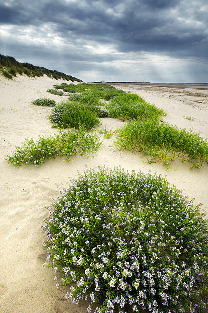 The Dunes of Thrift, Norfolk Coast, England