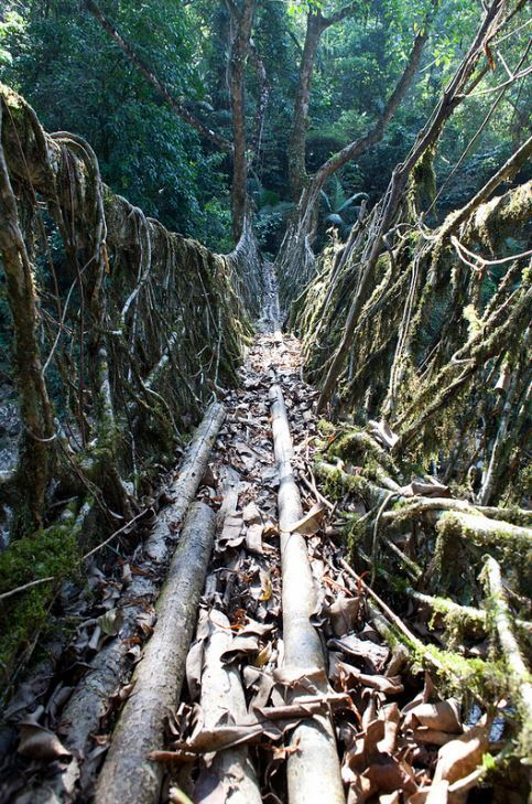200 years old root bridges in Meghalaya subtropical forests, India